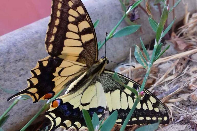 Swallowtail in Italy