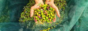 All about Taggiasca Olive